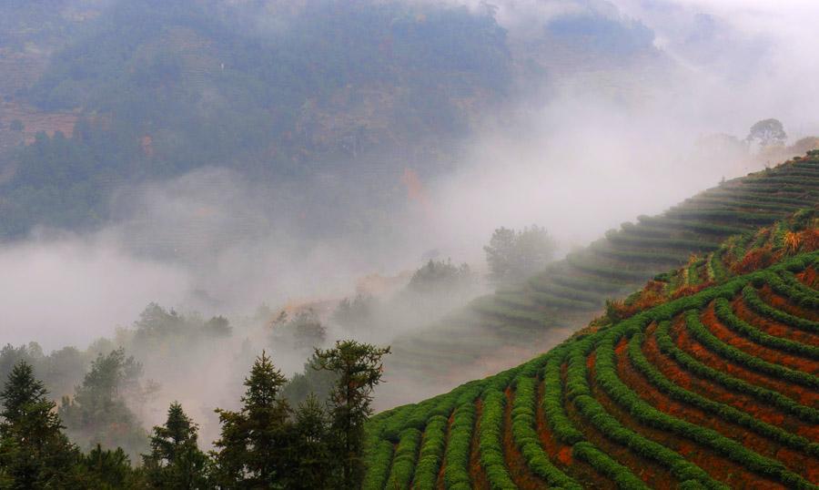 高山茶叶_高山茶是指海拔1000