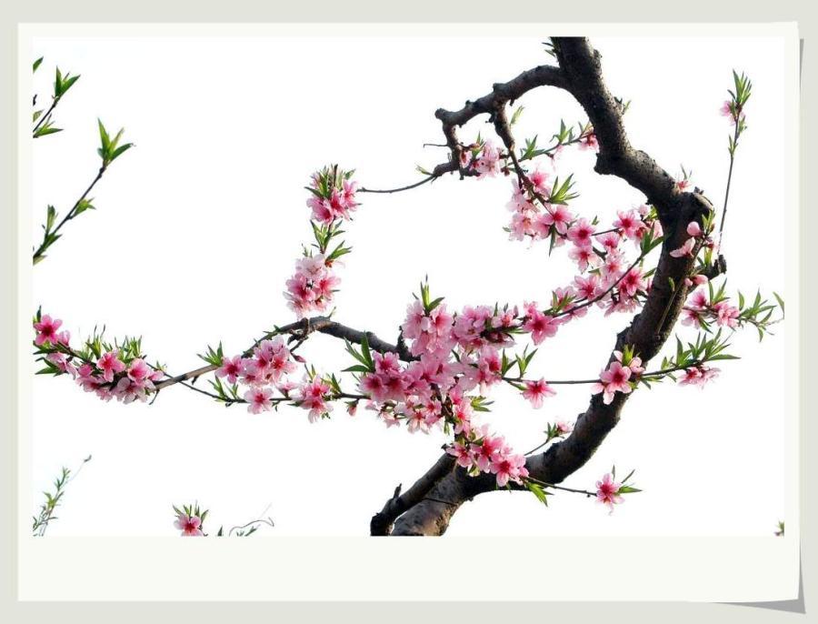 手绘桃树简笔画