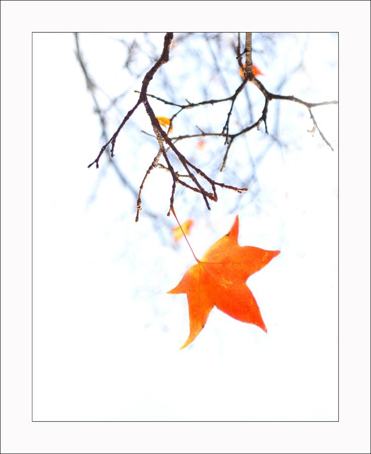 (中国文学·同题)枫红,立冬【原创新诗·卿羽】 - 昕竹卿羽 - 篱屋麦影舒天澜