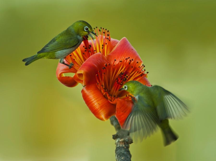 〔清竹作品〕木棉花与秀眼鸟