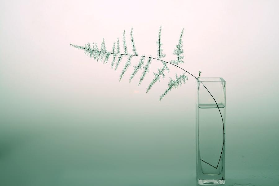 五年的   文竹   开出朵朵小白花   文竹的修剪方法图解