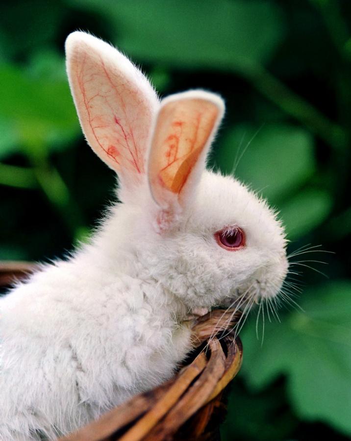 我最喜欢的动物——白兔