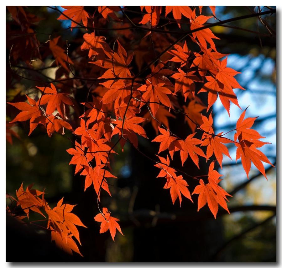 [快乐夕阳作品]秋天的树叶