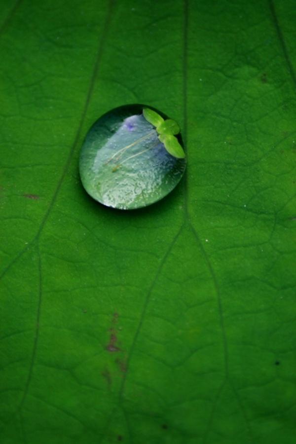 〔er163作品〕荷叶上的水珠—大众摄影网