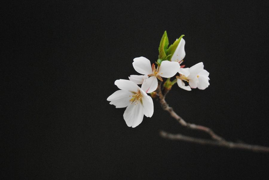 黑色樱花背景素材