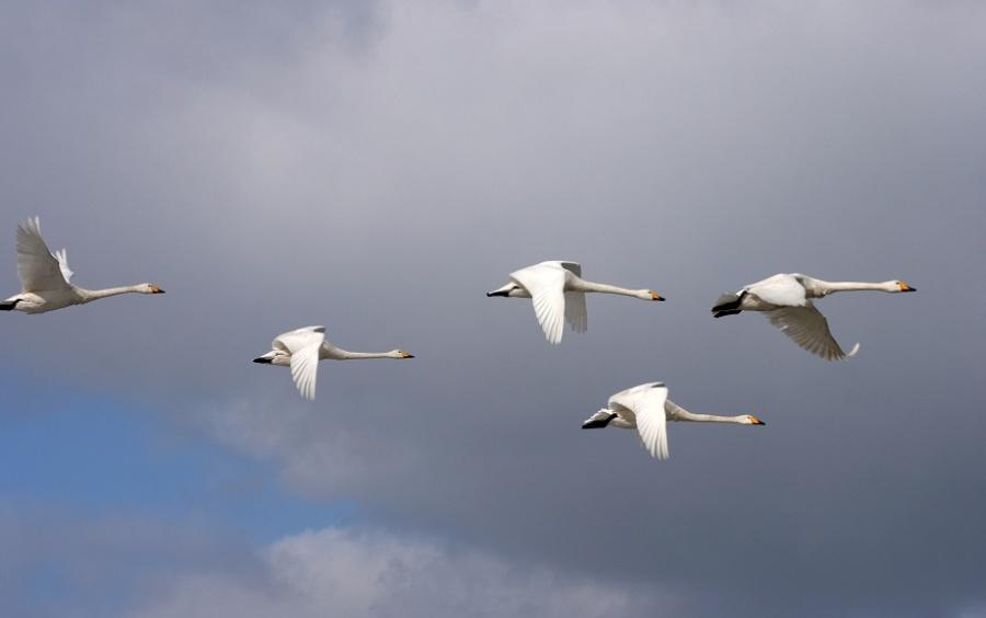 〔白淑珍作品〕迁徙的天鹅—大众摄影网