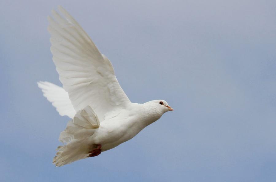 代表和平的动物