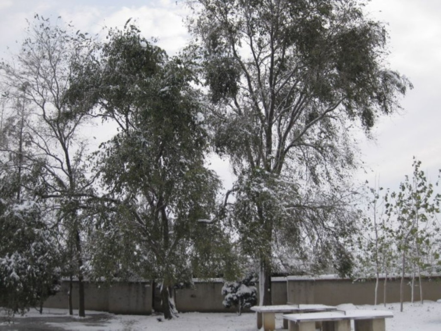榆树叶青初傲雪
