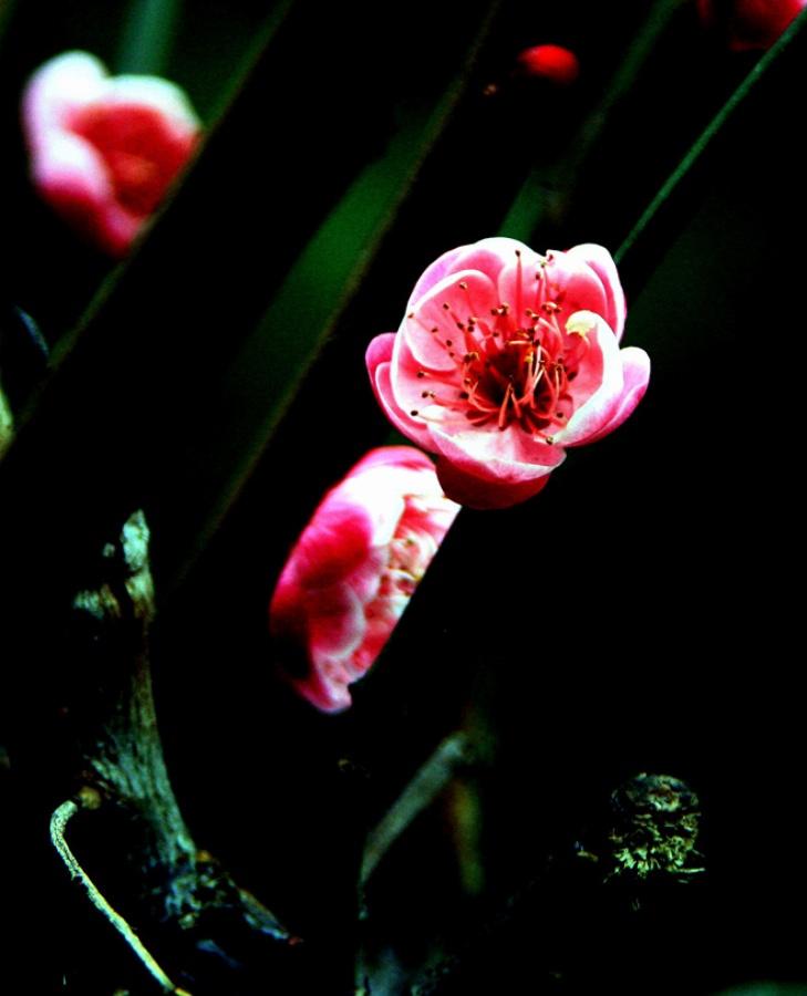 红梅花儿开 红梅花儿开曲谱 广场舞红梅花儿开