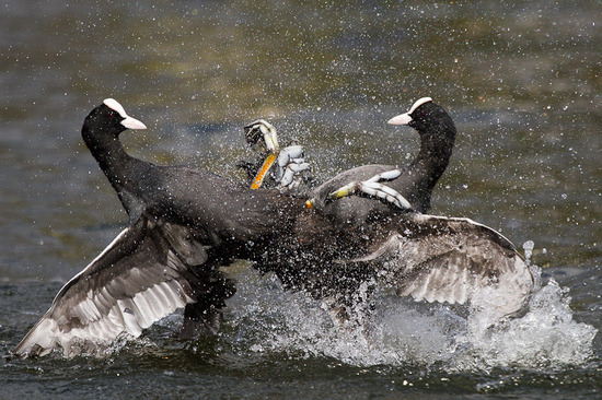 英国野生动物摄影大赛获奖作品欣赏-其他影赛-大众网