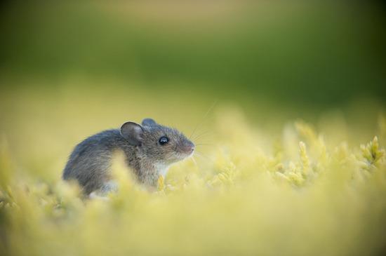 后院野生动物类:发呆的老鼠